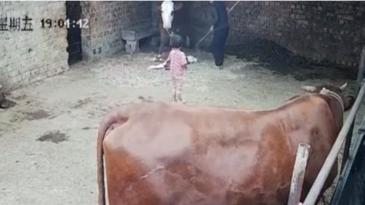Una vaca recién parida agrede a una niña de 4 años