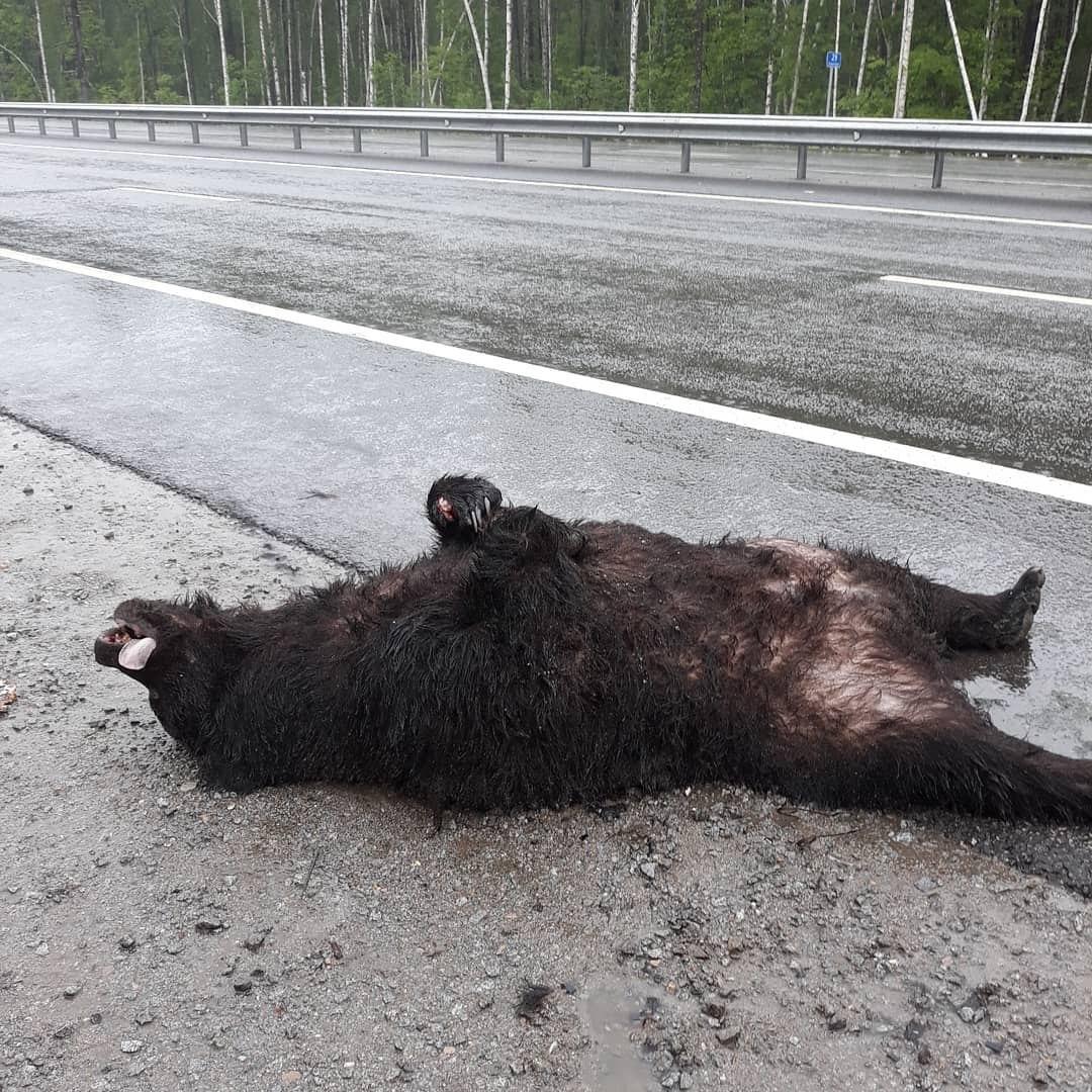 Очередного медведя сбили на трассе «Обход Хабаровска»