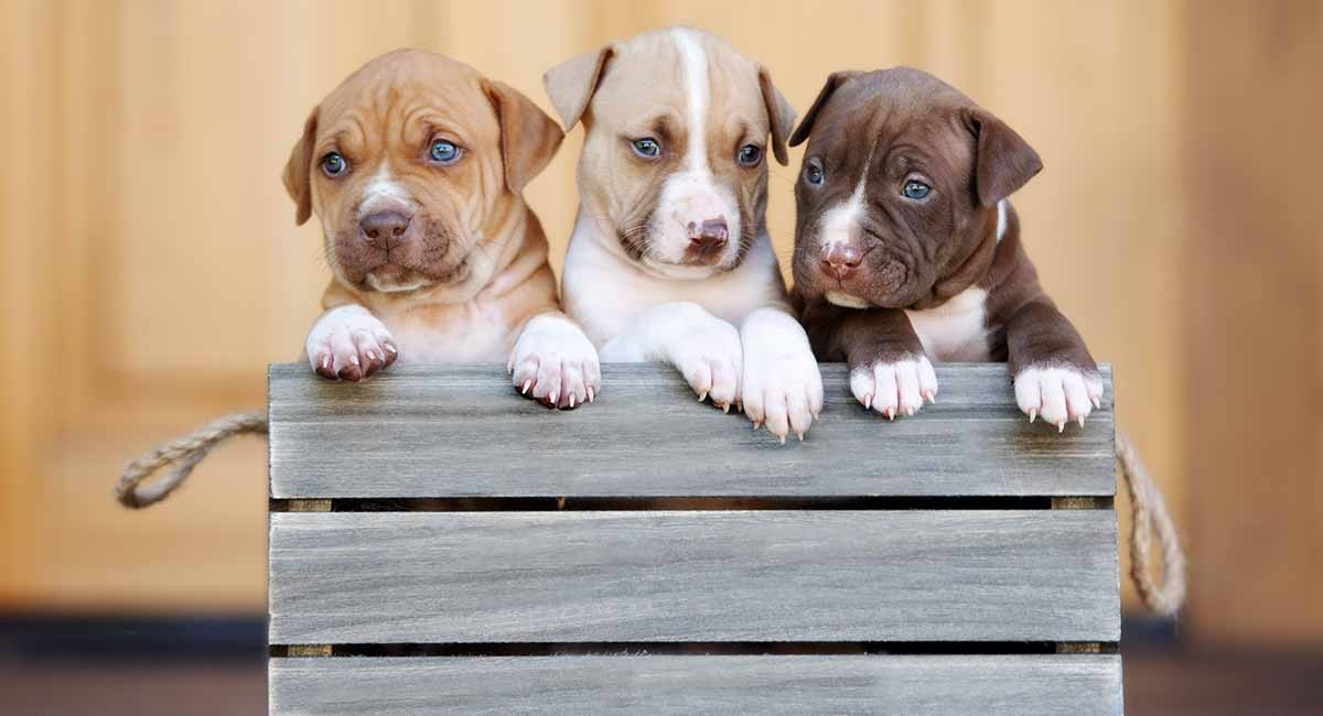 Pitbull terrier puppy for sale Canada