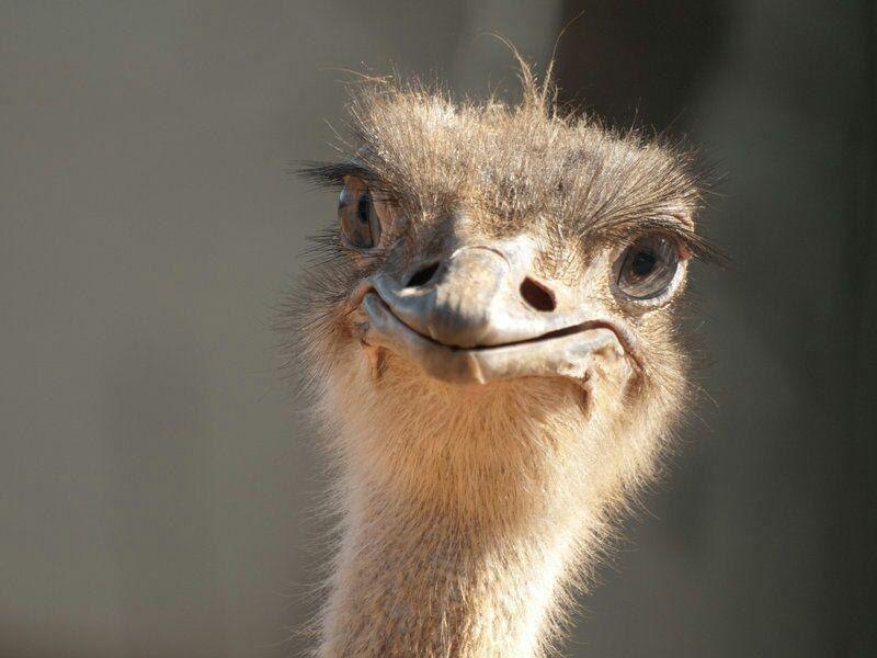 Открытка со страусом, новым годом мама