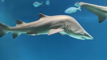 ¿Sabes por qué el tiburón está así?