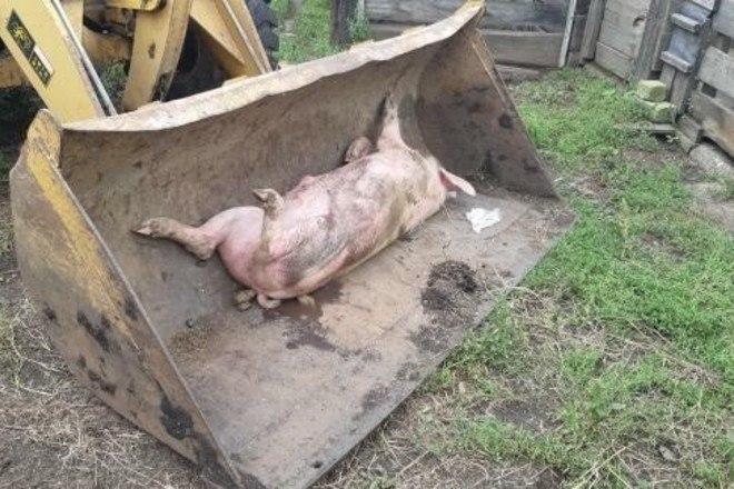 Из-за африканской чумы свиней в Хабаровске введен режим ЧС