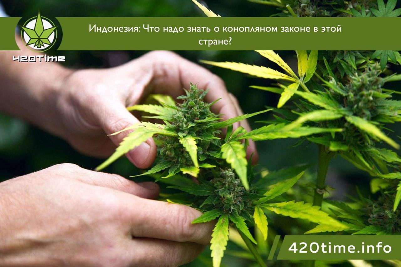 Индонезия марихуана парник для выращивании марихуаны