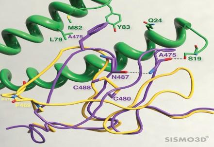 Abbildung 1. Die strukturellen Unterschiede zwischen den RBMs von SARS-CoV-2 und SARS-CoV.
