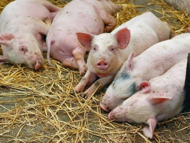 Режим ЧС ввели в Хабаровске из-за вспышки африканской чумы свиней