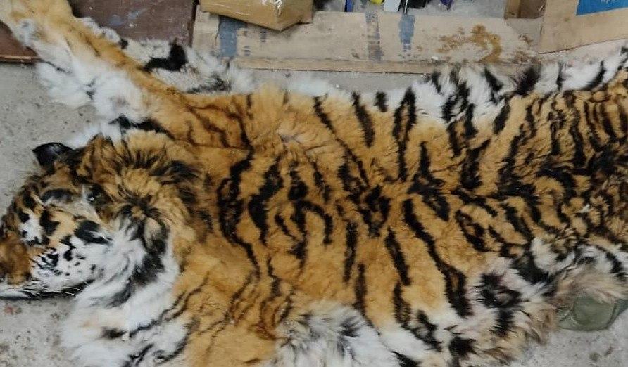 В Хабаровске задержали браконьеров за убийство амурского тигра
