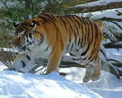 Тигр убил охотника в Хабаровском крае