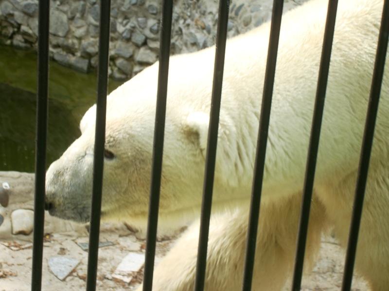 Белый медведь откусил пальцы посетительнице зоосада в Хабаровске