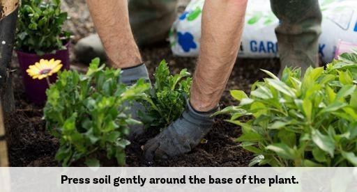 Придавите почву вокруг основания растения