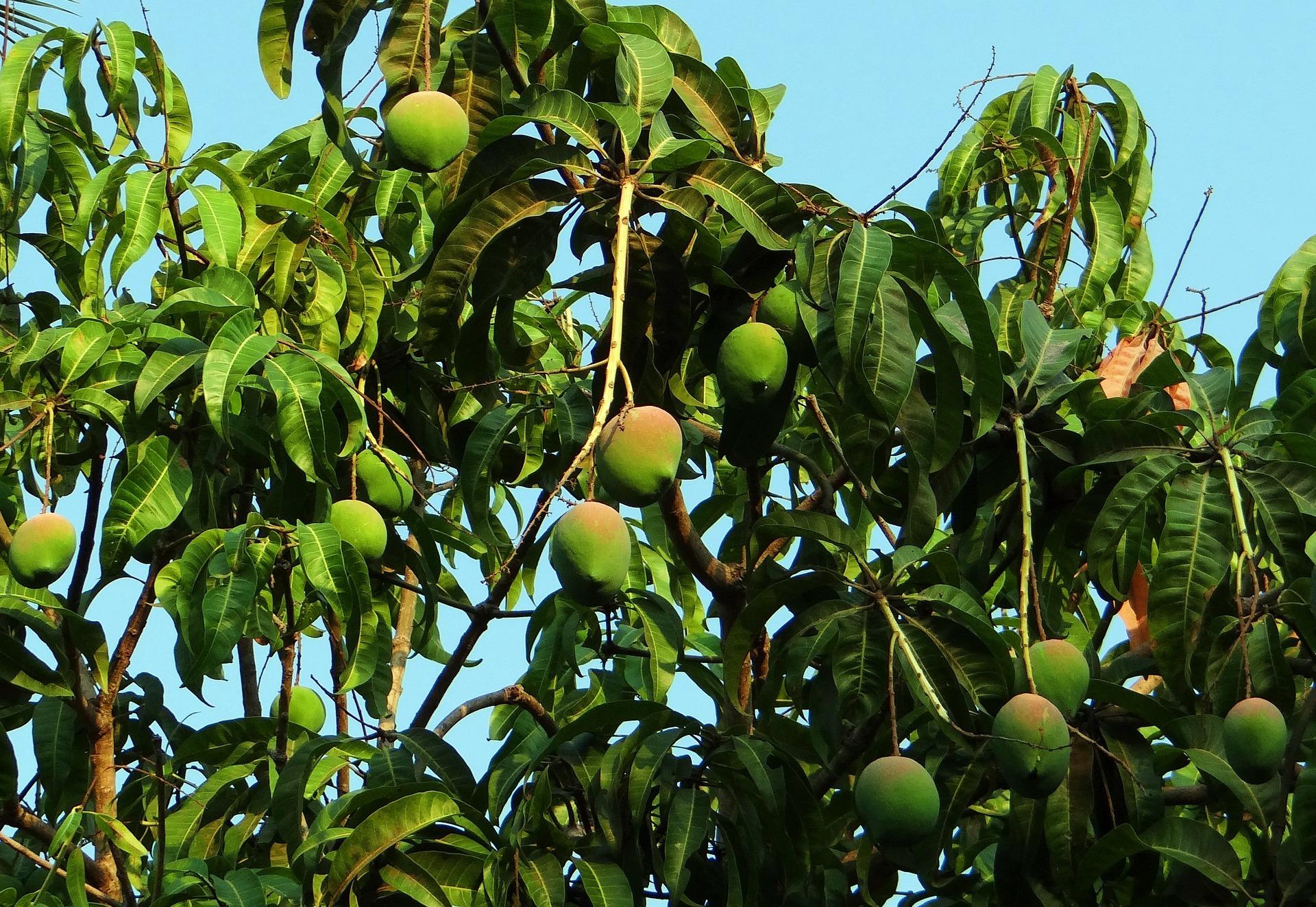 Afrykańskie mango (Irvingia gabonensis)
