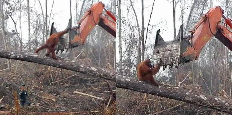 Un orangután pelea contra la excavadora que destroza su bosque