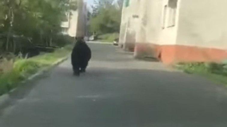 Гуляющий по Хабаровску медведь пока не найден