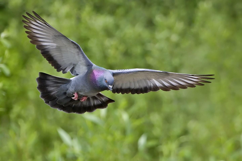 Вредители голуби