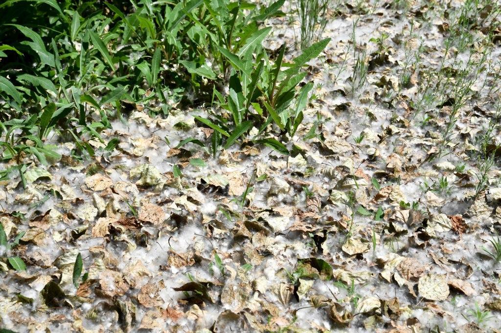Причина опадения листьев с тополей в Хабаровске