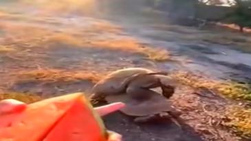 Tortugas comiendo mientras follan
