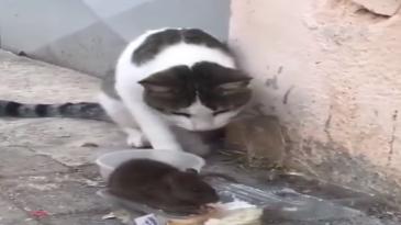Gato y ratón peleando por la comida