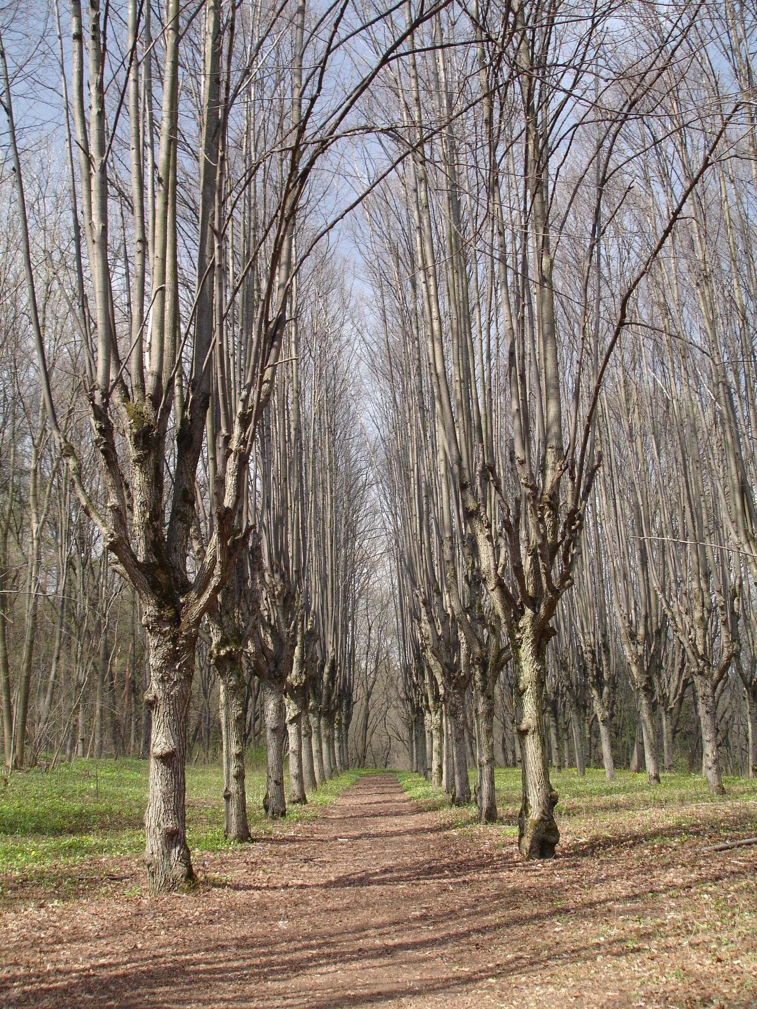 Шарівка. Так виглядає липова алея садибного парку у квітні, коли дерева ще не вкриті листям. Але ж далі буде! Фото — Тетяна Чернецька (2006).