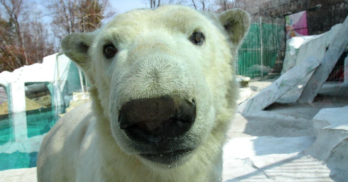 Белый медведь Хабар умер в Хабаровске