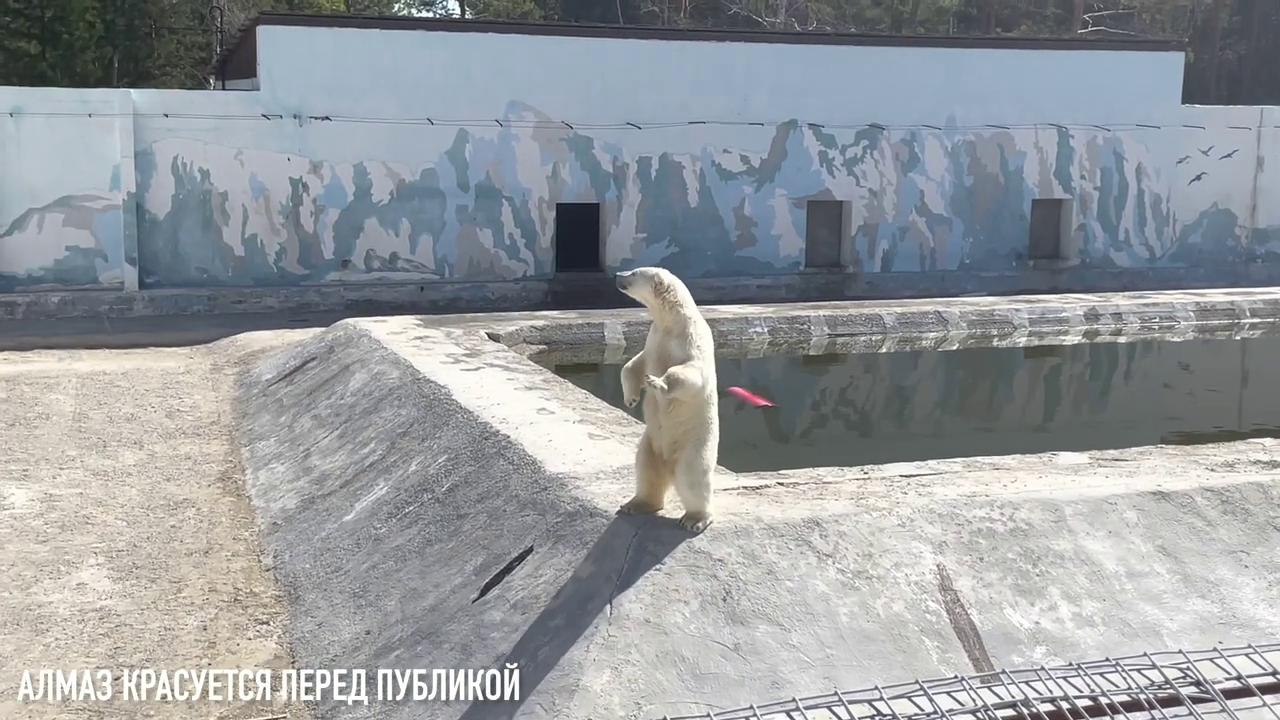 """Взамен умершего белого медведя """"Хабар"""" Приамурского зоосада приедет """"Алмаз"""" из Якутии"""
