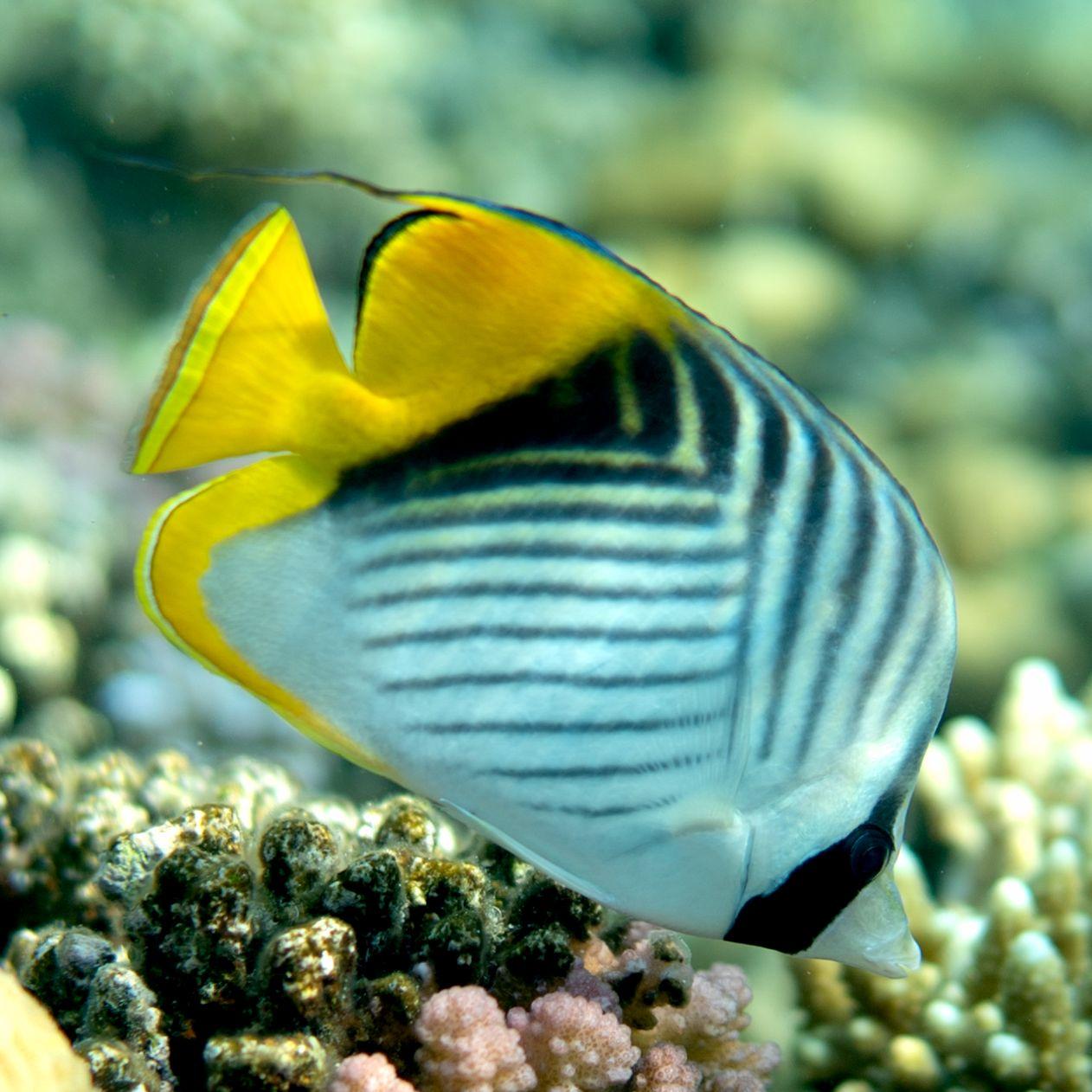 Bluestripe Butterflyfish