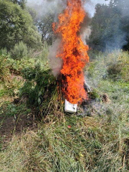 В Хабаровском крае уничтожили более пяти тысяч кустов конопли