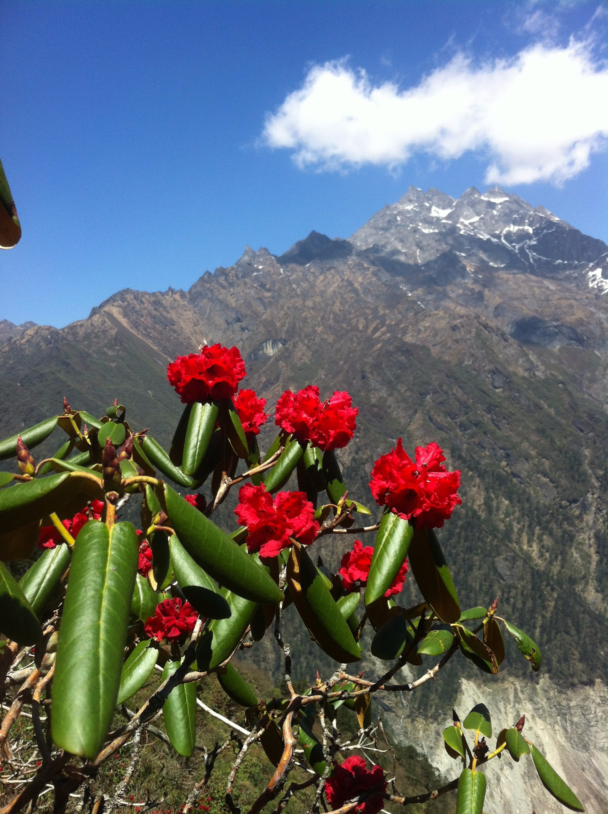 Непал. Скоро наступит сезон цветения рододендронов.