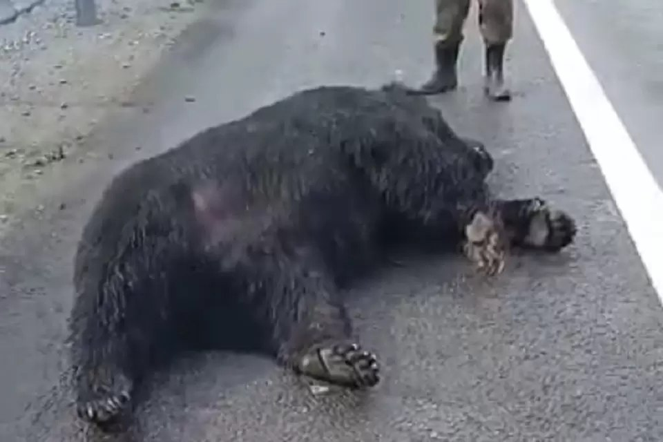 Под Хабаровском насмерть сбили бурого медведя